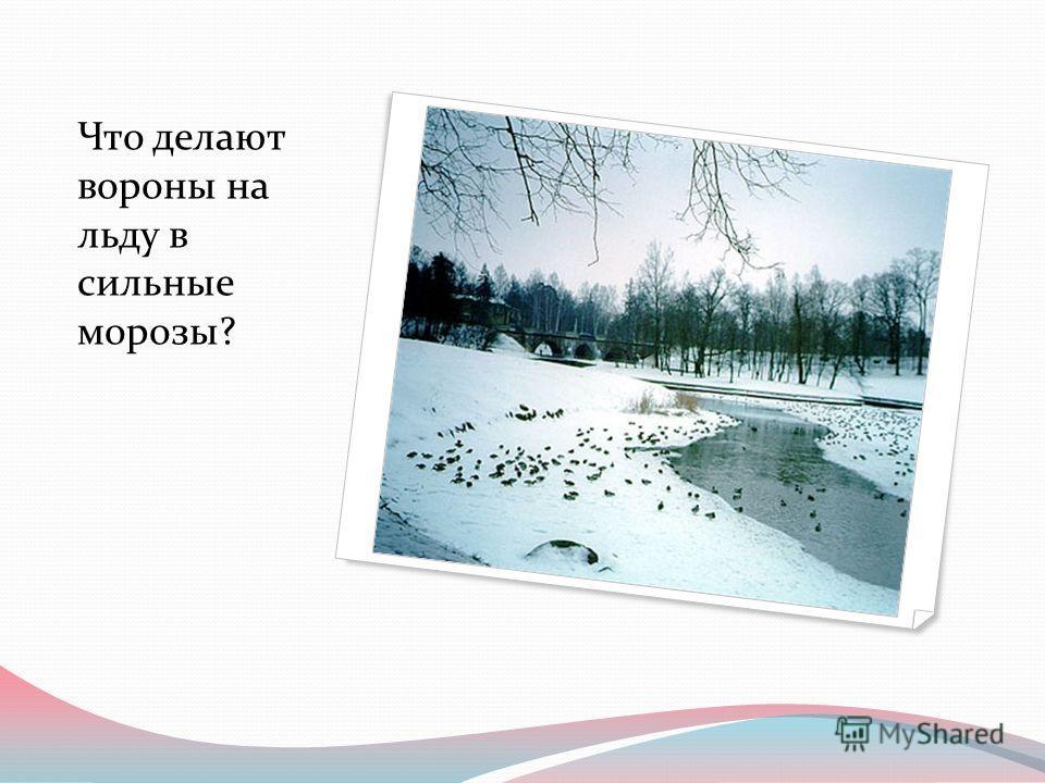 Что делают вороны на льду в сильные морозы?