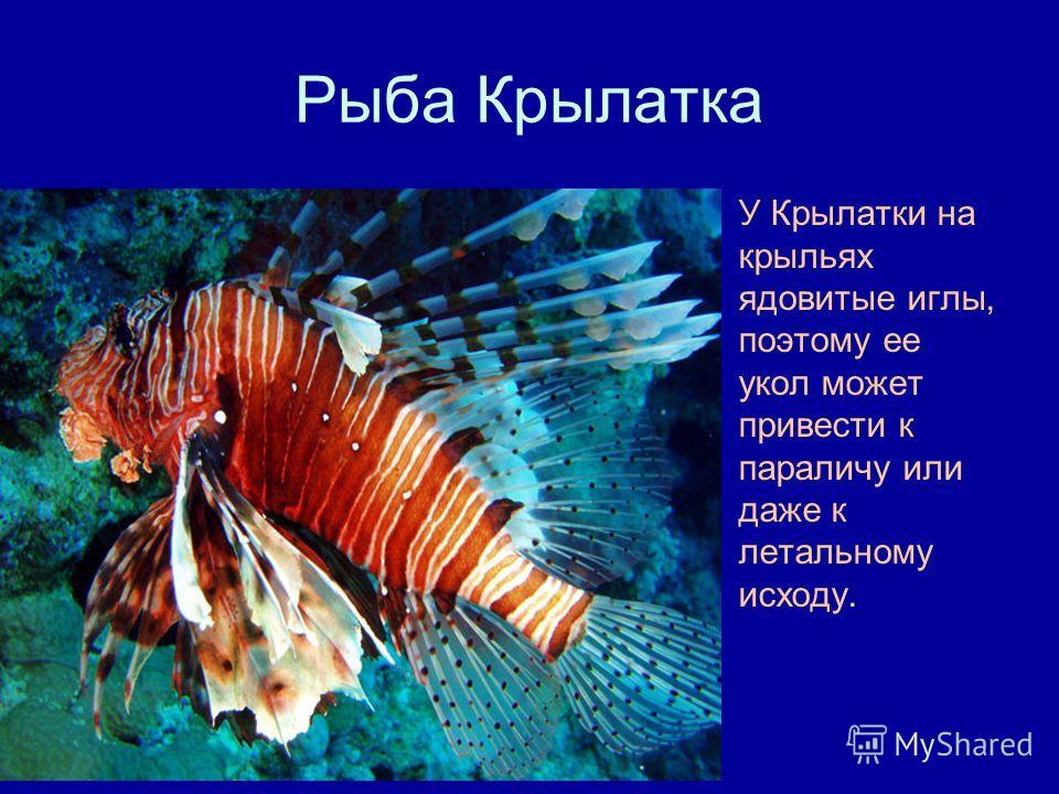 Рыба Крылатка У Крылатки на крыльях ядовитые иглы, поэтому ее укол может привести к параличу или даже к летальному исходу.