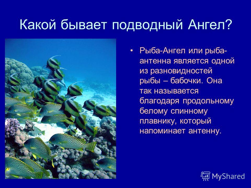 Какой бывает подводный Ангел? Рыба-Ангел или рыба- антенна является одной из разновидностей рыбы – бабочки. Она так называется благодаря продольному белому спинному плавнику, который напоминает антенну.