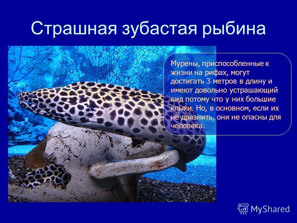 Страшная зубастая рыбина Мурены, приспособленные к жизни на рифах, могут достигать 3 метров в длину и имеют довольно устрашающий вид потому что у них большие клыки. Но, в основном, если их не дразнить, они не опасны для человека.