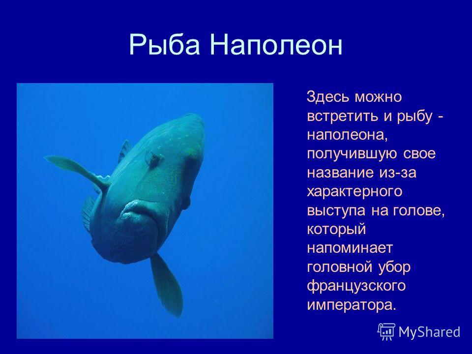 Рыба Наполеон Здесь можно встретить и рыбу - наполеона, получившую свое название из-за характерного выступа на голове, который напоминает головной убор французского императора.