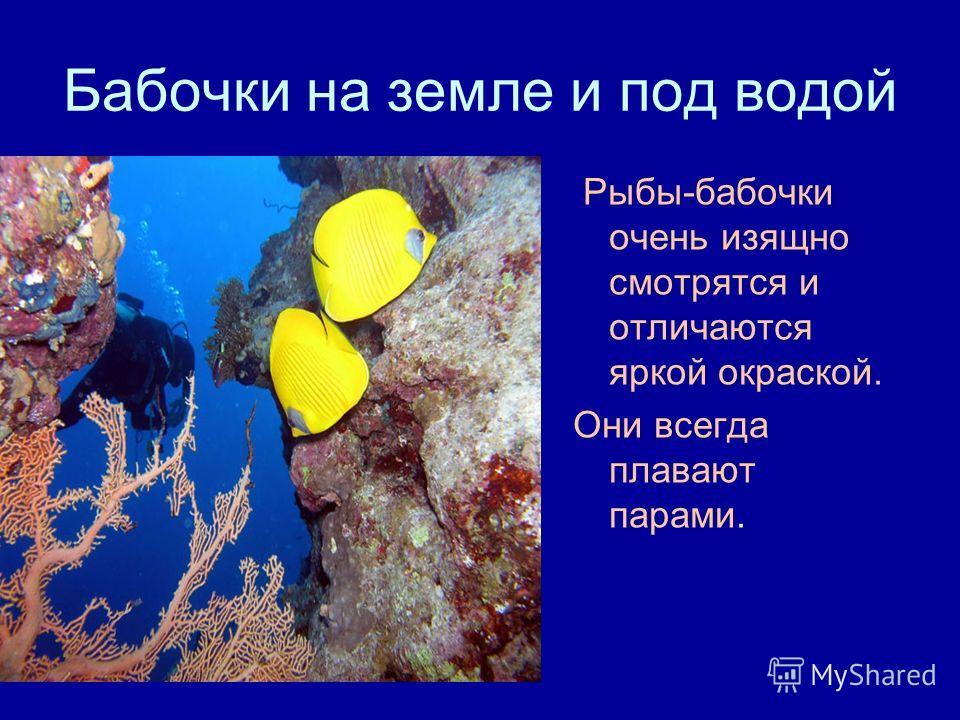 Бабочки на земле и под водой Рыбы-бабочки очень изящно смотрятся и отличаются яркой окраской. Они всегда плавают парами.