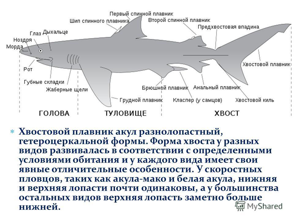 Хвостовой плавник акул разнолопастный, гетероцеркальной формы. Форма хвоста у разных видов развивалась в соответствии с определенными условиями обитания и у каждого вида имеет свои явные отличительные особенности. У скоростных пловцов, таких как акул
