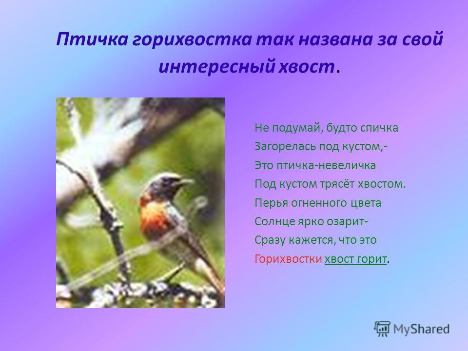 Птичка горихвостка так названа за свой интересный хвост. Не подумай, будто спичка Загорелась под кустом,- Это птичка-невеличка Под кустом трясёт хвостом. Перья огненного цвета Солнце ярко озарит- Сразу кажется, что это Горихвостки хвост горит.