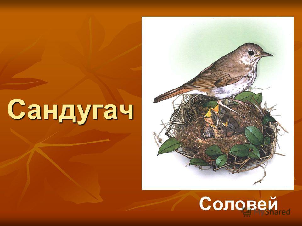 Сандугач Соловей