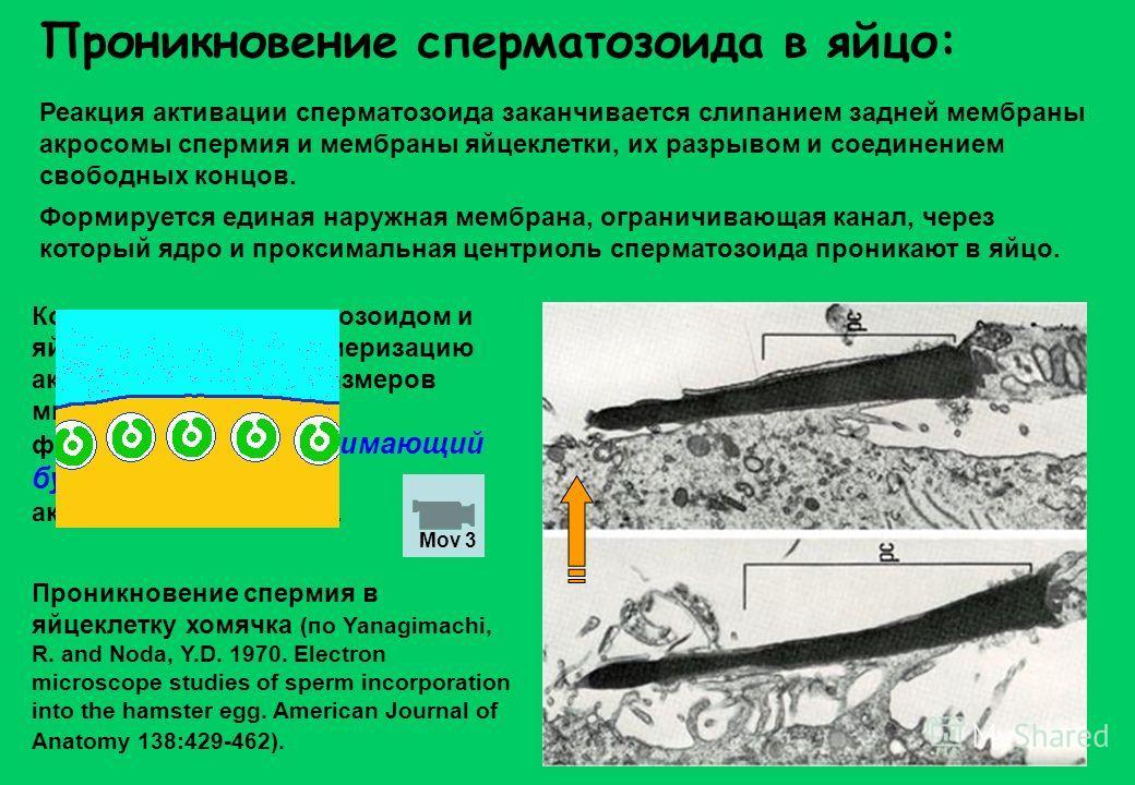 Проникновение сперматозоида в яйцо: Реакция активации сперматозоида заканчивается слипанием задней мембраны акросомы спермия и мембраны яйцеклетки, их разрывом и соединением свободных концов. Формируется единая наружная мембрана, ограничивающая канал