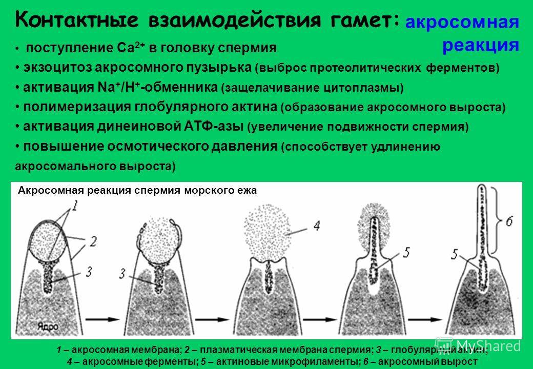 Контактные взаимодействия гамет: поступление Ca 2+ в головку спермия экзоцитоз акросомного пузырька (выброс протеолитических ферментов) активация Na + /H + -обменника (защелачивание цитоплазмы) полимеризация глобулярного актина (образование акросомно