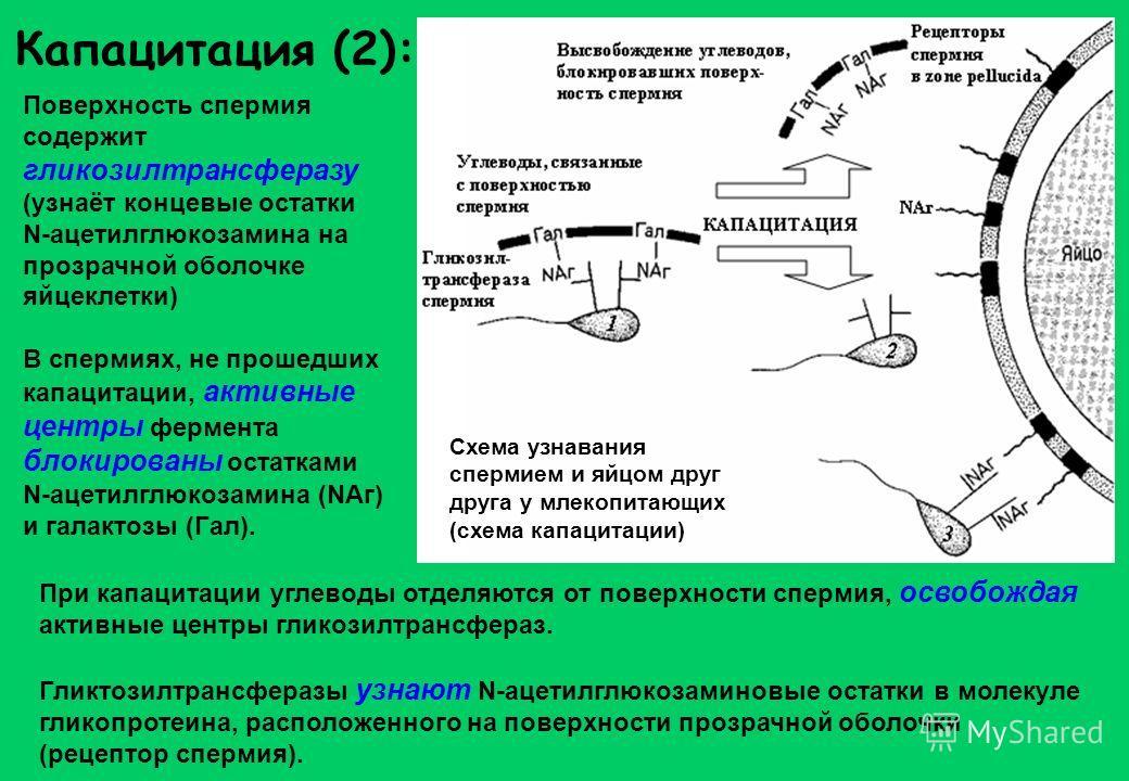 Капацитация (2): Поверхность спермия содержит гликозилтрансферазу (узнаёт концевые остатки N-ацетилглюкозамина на прозрачной оболочке яйцеклетки) В спермиях, не прошедших капацитации, активные центры фермента блокированы остатками N-ацетилглюкозамина