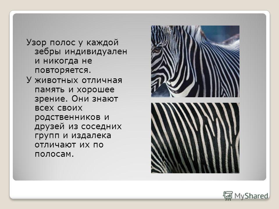 Узор полос у каждой зебры индивидуален и никогда не повторяется. У животных отличная память и хорошее зрение. Они знают всех своих родственников и друзей из соседних групп и издалека отличают их по полосам.