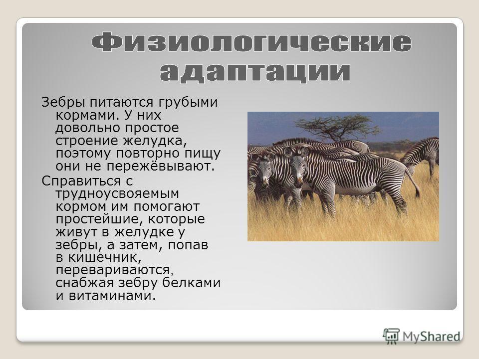 Зебры питаются грубыми кормами. У них довольно простое строение желудка, поэтому повторно пищу они не пережёвывают. Справиться с трудноусвояемым кормом им помогают простейшие, которые живут в желудке у зебры, а затем, попав в кишечник, перевариваются