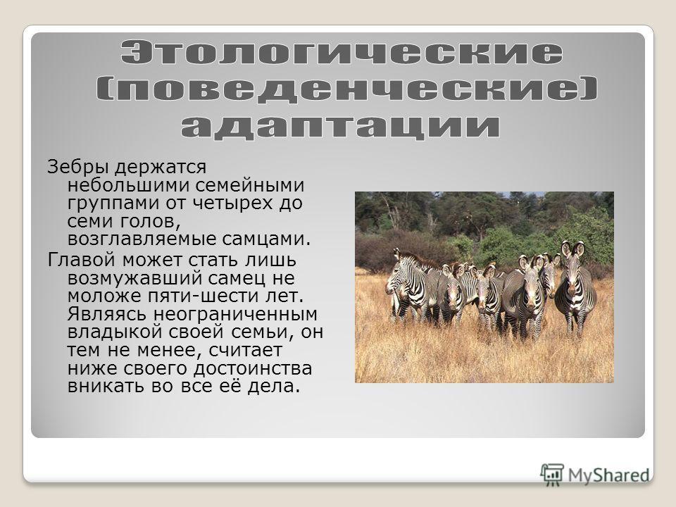 Зебры держатся небольшими семейными группами от четырех до семи голов, возглавляемые самцами. Главой может стать лишь возмужавший самец не моложе пяти-шести лет. Являясь неограниченным владыкой своей семьи, он тем не менее, считает ниже своего достои