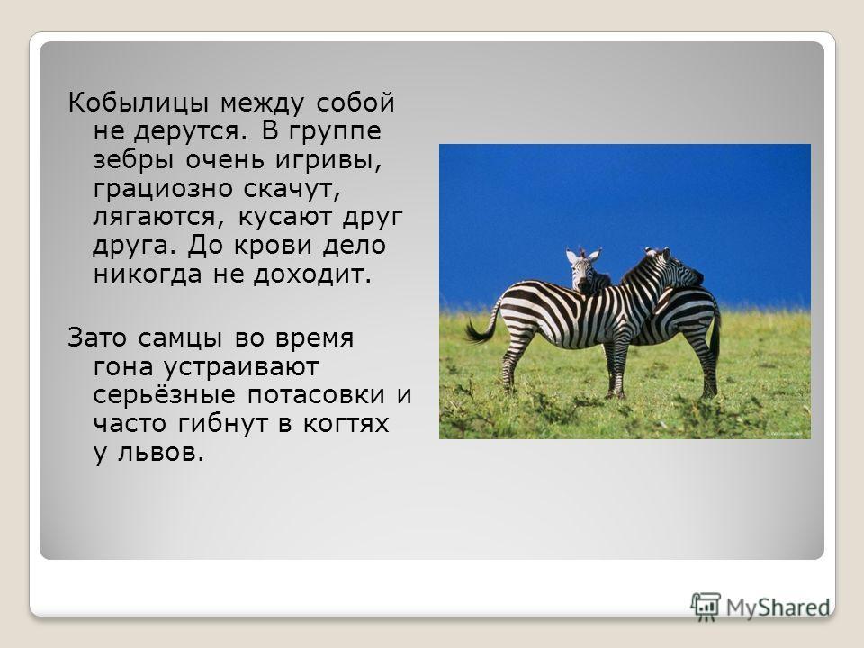 Кобылицы между собой не дерутся. В группе зебры очень игривы, грациозно скачут, лягаются, кусают друг друга. До крови дело никогда не доходит. Зато самцы во время гона устраивают серьёзные потасовки и часто гибнут в когтях у львов.