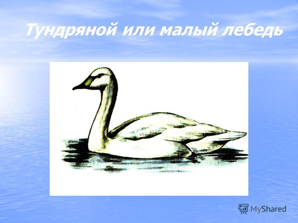 Тундряной или малый лебедь