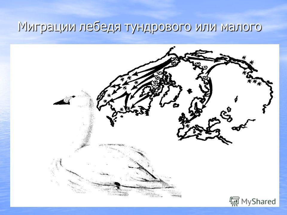 Миграции лебедя тундрового или малого