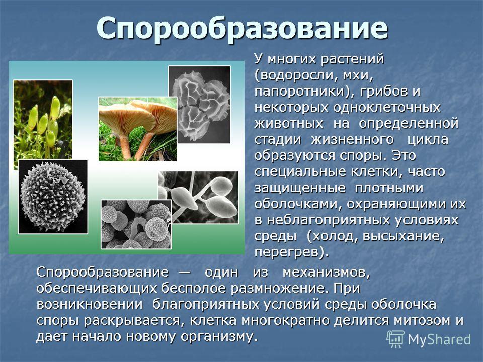 Спорообразование Спорообразование один из механизмов, обеспечивающих бесполое размножение. При возникновении благоприятных условий среды оболочка споры раскрывается, клетка многократно делится митозом и дает начало новому организму. У многих растений