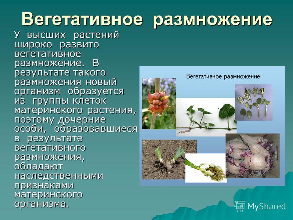 Вегетативное размножение У высших растений широко развито вегетативное размножение. В результате такого размножения новый организм образуется из группы клеток материнского растения, поэтому дочерние особи, образовавшиеся в результате вегетативного ра