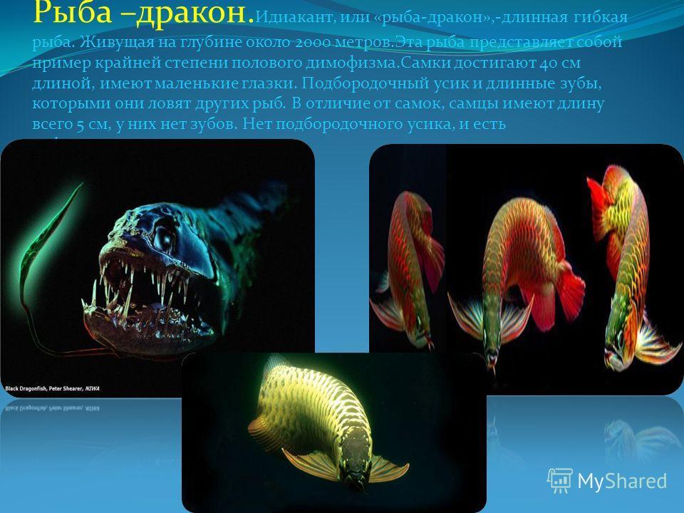 Рыба –дракон. Идиакант, или «рыба-дракон»,-длинная гибкая рыба. Живущая на глубине около 2000 метров.Эта рыба представляет собой пример крайней степени полового димофизма.Самки достигают 40 см длиной, имеют маленькие глазки. Подбородочный усик и длин
