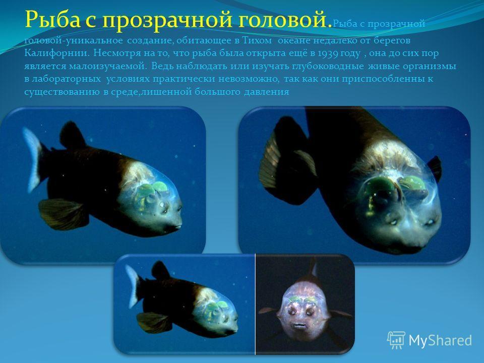 Рыба с прозрачной головой. Рыба с прозрачной головой-уникальное создание, обитающее в Тихом океане недалеко от берегов Калифорнии. Несмотря на то, что рыба была открыта ещё в 1939 году, она до сих пор является малоизучаемой. Ведь наблюдать или изучат