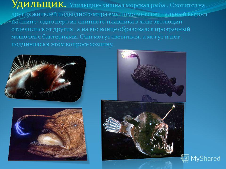 Удильщик. Удильщик- хищная морская рыба. Охотится на других жителей подводного мира ему помогает специальный вырост на спине- одно перо из спинного плавника в ходе эволюции отделились от других, а на его конце образовался прозрачный мешочек с бактери
