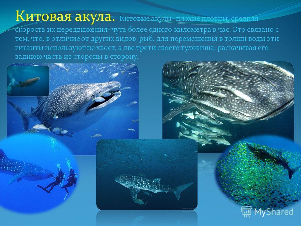 Китовая акула. Китовые акулы- плохие пловцы, средняя скорость их передвижения- чуть более одного километра в час. Это связано с тем, что, в отличие от других видов рыб, для перемещения в толщи воды эти гиганты используют не хвост, а две трети своего