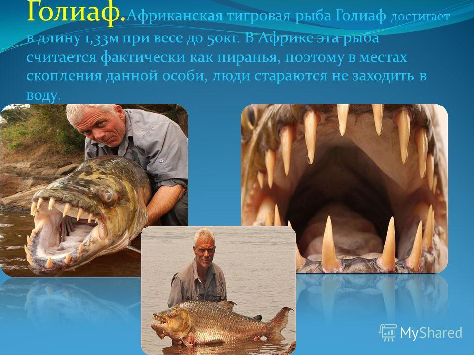 Голиаф. Африканская тигровая рыба Голиаф достигает в длину 1,33м при весе до 50кг. В Африке эта рыба считается фактически как пиранья, поэтому в местах скопления данной особи, люди стараются не заходить в воду.