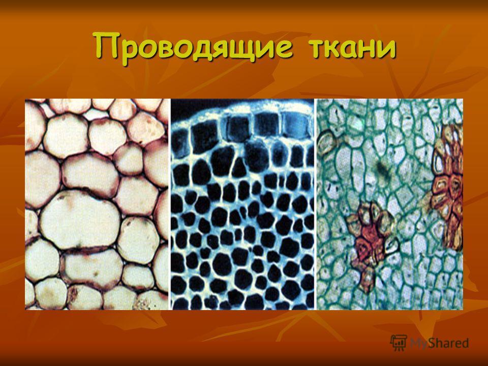 Проводящие ткани