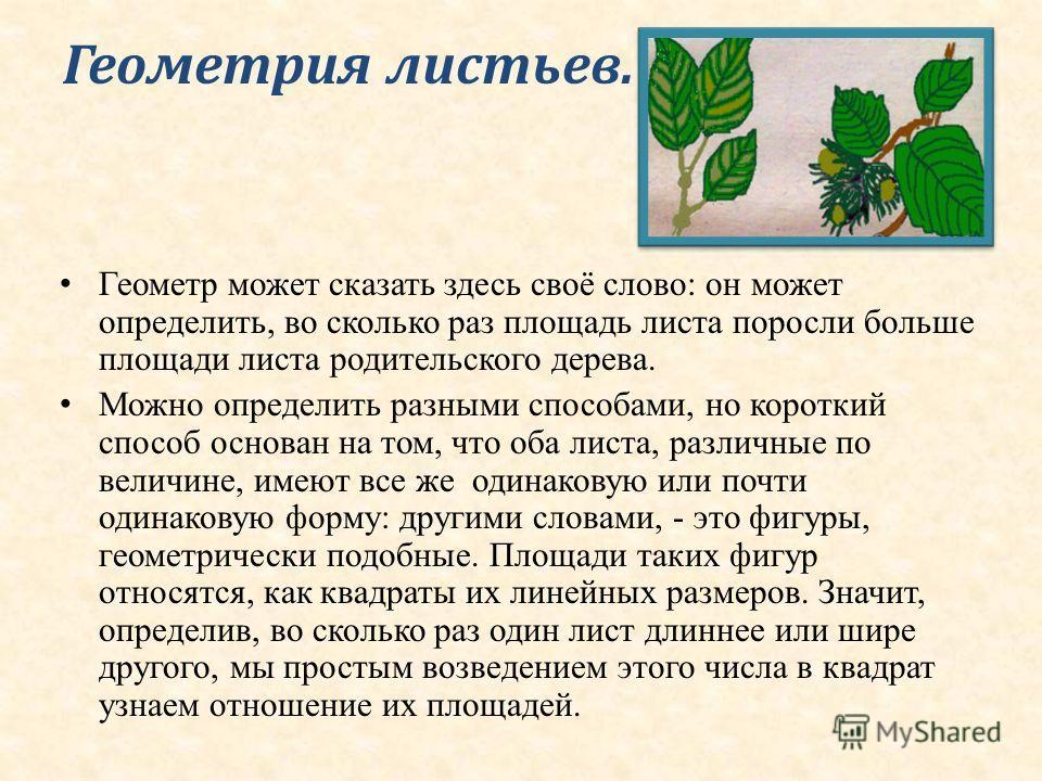 Геометрия листьев. Геометр может сказать здесь своё слово: он может определить, во сколько раз площадь листа поросли больше площади листа родительского дерева. Можно определить разными способами, но короткий способ основан на том, что оба листа, разл