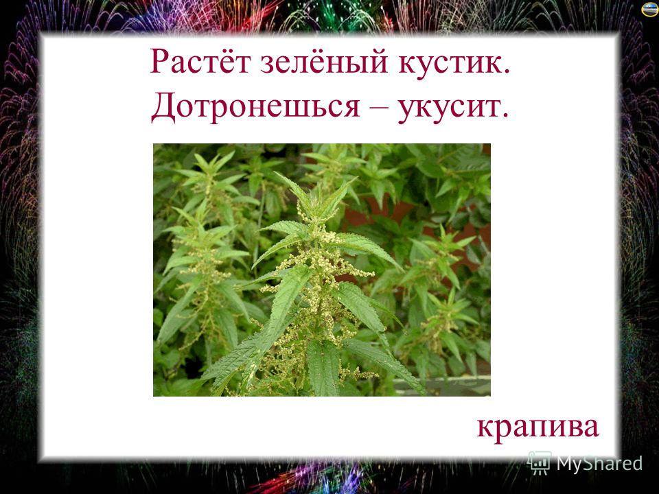 Растёт зелёный кустик. Дотронешься – укусит. крапива