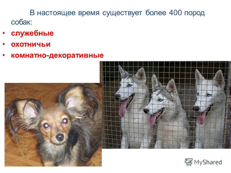 В настоящее время существует более 400 пород собак: служебные охотничьи комнатно-декоративные