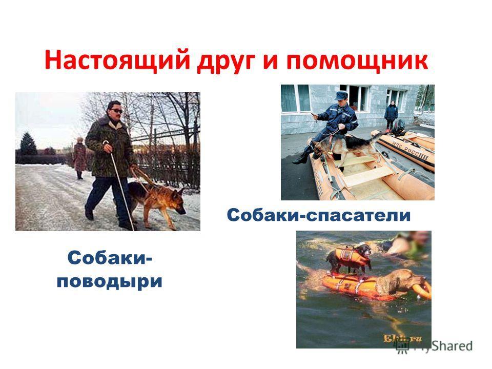 Настоящий друг и помощник Собаки- поводыри Собаки-спасатели