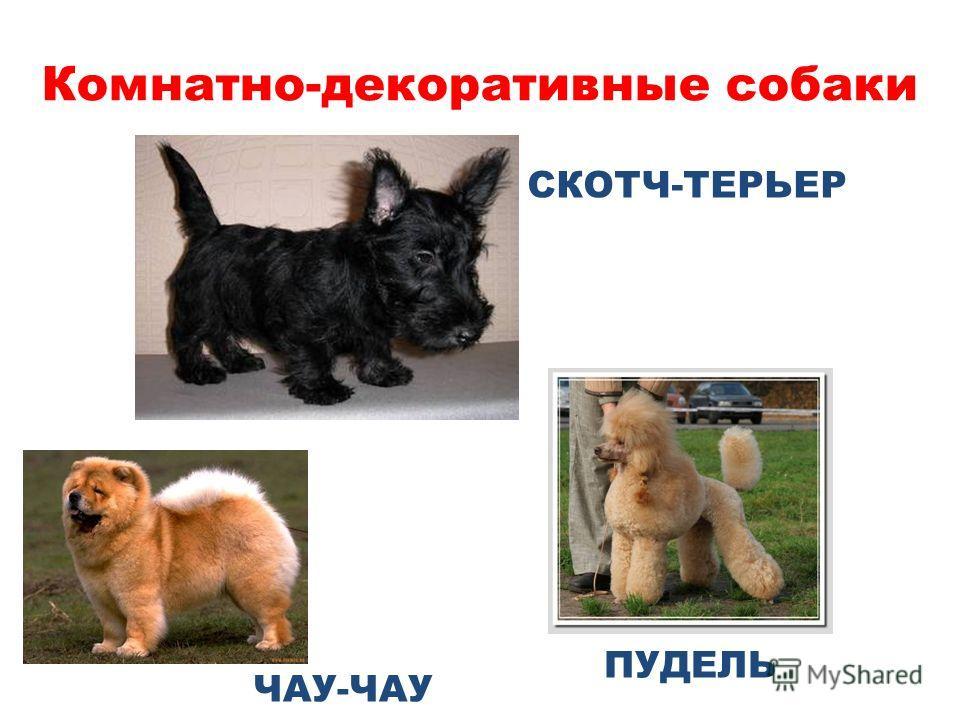 Комнатно-декоративные собаки ПУДЕЛЬ ЧАУ-ЧАУ СКОТЧ-ТЕРЬЕР