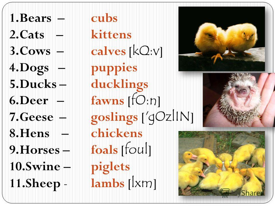 1.Bears – 2.Cats – 3.Cows – 4.Dogs – 5.Ducks – 6.Deer – 7.Geese – 8.Hens – 9.Horses – 10.Swine – 11.Sheep - cubs kittens calves [ kQ:v ] puppies ducklings fawns [ fO:n ] goslings [ 'gOzlIN ] chickens foals [ foul ] piglets lambs [ lxm ]