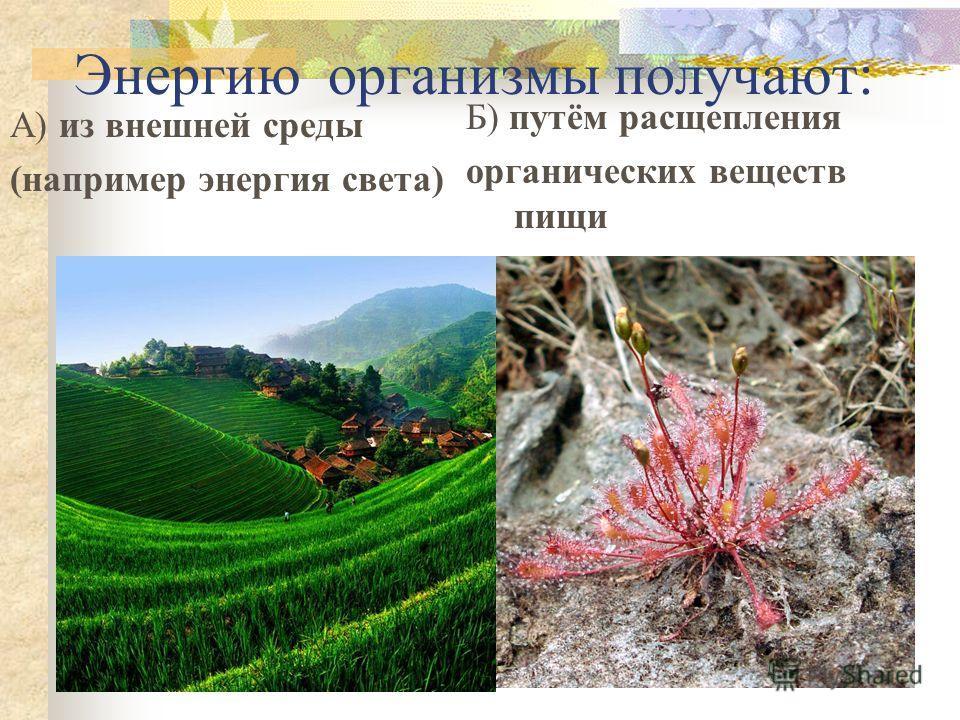 Энергию организмы получают: А) из внешней среды (например энергия света) Б) путём расщепления органических веществ пищи
