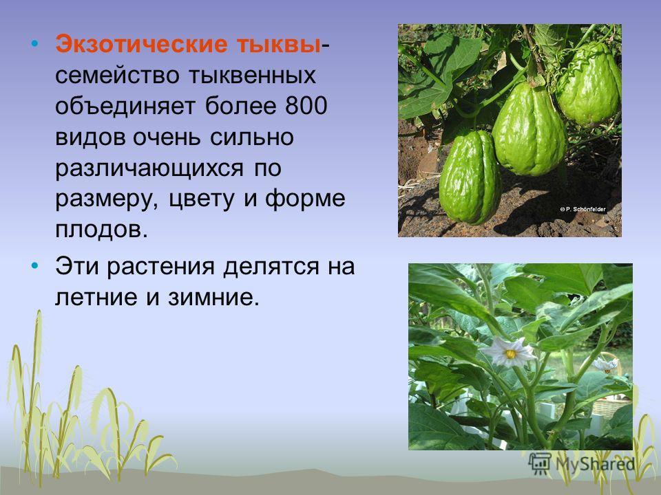 Экзотические тыквы- семейство тыквенных объединяет более 800 видов очень сильно различающихся по размеру, цвету и форме плодов. Эти растения делятся на летние и зимние.