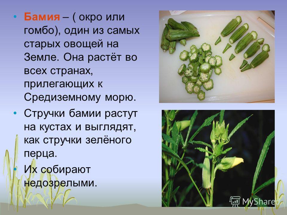 Бамия – ( окро или гомбо), один из самых старых овощей на Земле. Она растёт во всех странах, прилегающих к Средиземному морю. Стручки бамии растут на кустах и выглядят, как стручки зелёного перца. Их собирают недозрелыми.