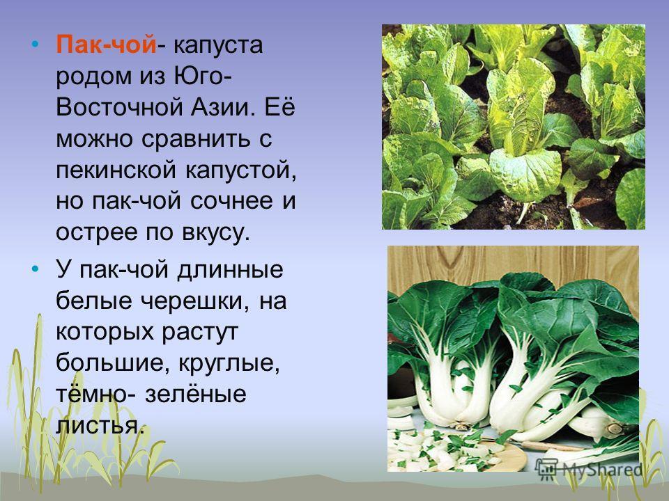 Пак-чой- капуста родом из Юго- Восточной Азии. Её можно сравнить с пекинской капустой, но пак-чой сочнее и острее по вкусу. У пак-чой длинные белые черешки, на которых растут большие, круглые, тёмно- зелёные листья.
