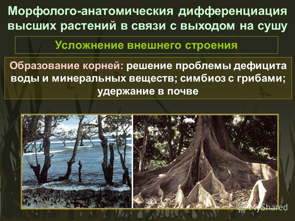 Морфолого-анатомическия дифференциация высших растений в связи с выходом на сушу Усложнение внешнего строения Образование корней: решение проблемы дефицита воды и минеральных веществ; симбиоз с грибами; удержание в почве