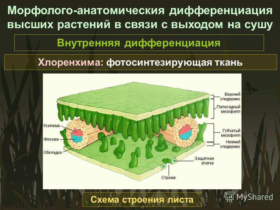 Морфолого-анатомическия дифференциация высших растений в связи с выходом на сушу Внутренняя дифференциация Хлоренхима: фотосинтезирующая ткань Схема строения листа