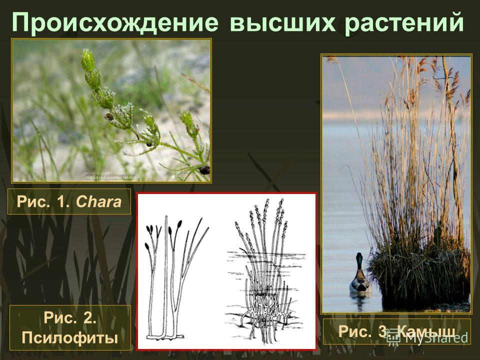 Происхождение высших растений Рис. 1. Chara Рис. 3. Камыш Рис. 2. Псилофиты