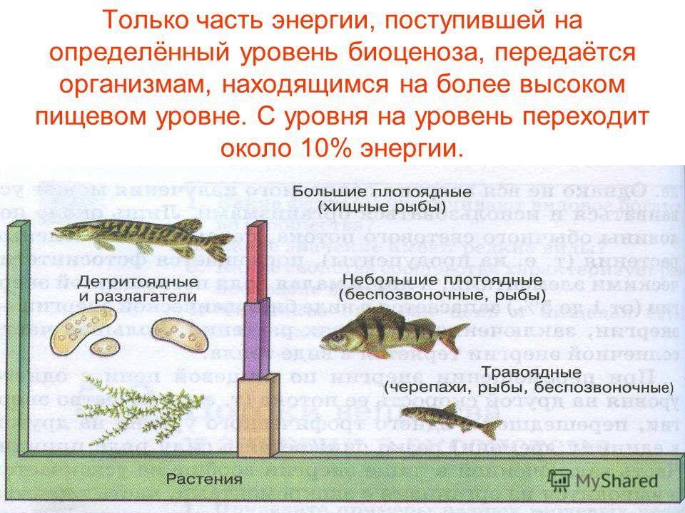 Только часть энергии, поступившей на определённый уровень биоценоза, передаётся организмам, находящимся на более высоком пищевом уровне. С уровня на уровень переходит около 10% энергии.