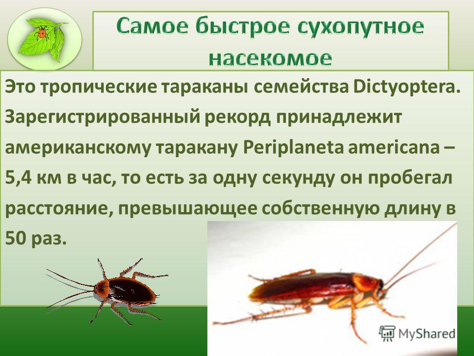 Это тропические тараканы семейства Dictyoptera. Зарегистрированный рекорд принадлежит американскому таракану Periplaneta americana – 5,4 км в час, то есть за одну секунду он пробегал расстояние, превышающее собственную длину в 50 раз.