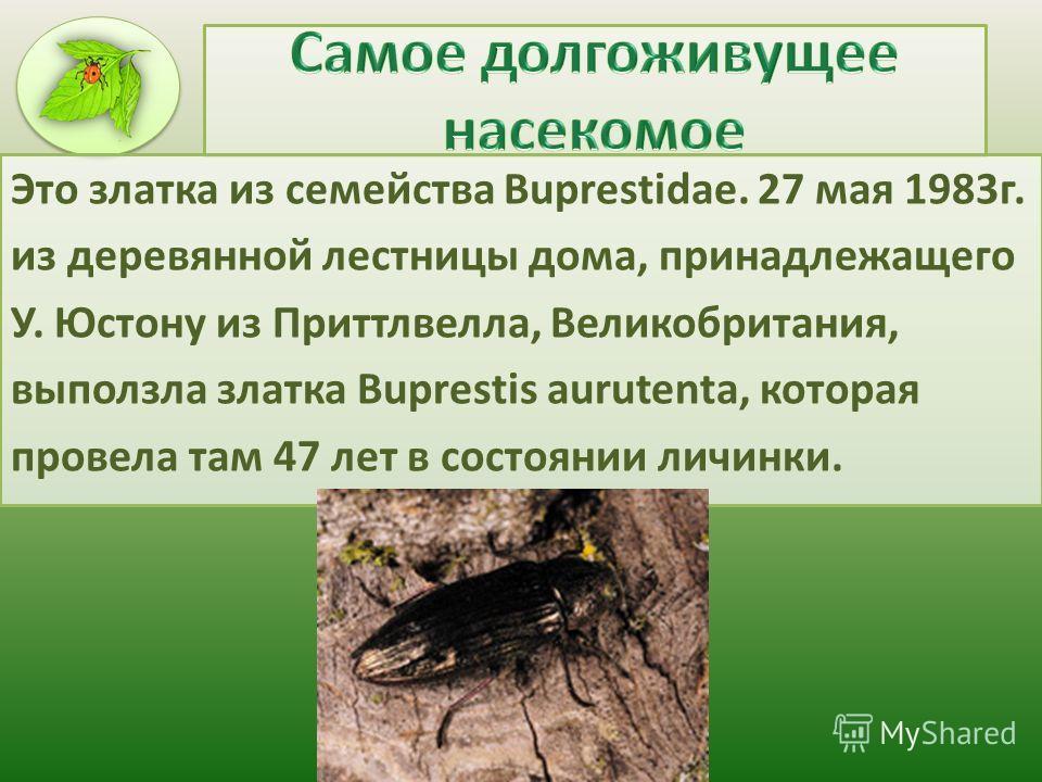Это златка из семейства Buprestidae. 27 мая 1983г. из деревянной лестницы дома, принадлежащего У. Юстону из Приттлвелла, Великобритания, выползла златка Buprestis aurutenta, которая провела там 47 лет в состоянии личинки.