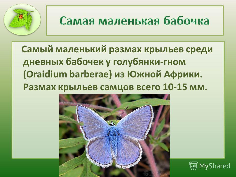 Самый маленький размах крыльев среди дневных бабочек у голубянки-гном (Oraidium barberae) из Южной Африки. Размах крыльев самцов всего 10-15 мм.