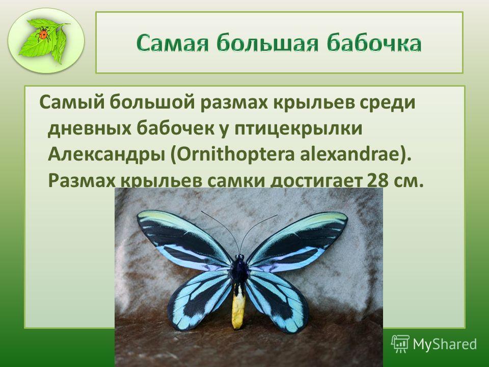 Самый большой размах крыльев среди дневных бабочек у птицекрылки Александры (Ornithoptera alexandrae). Размах крыльев самки достигает 28 см.
