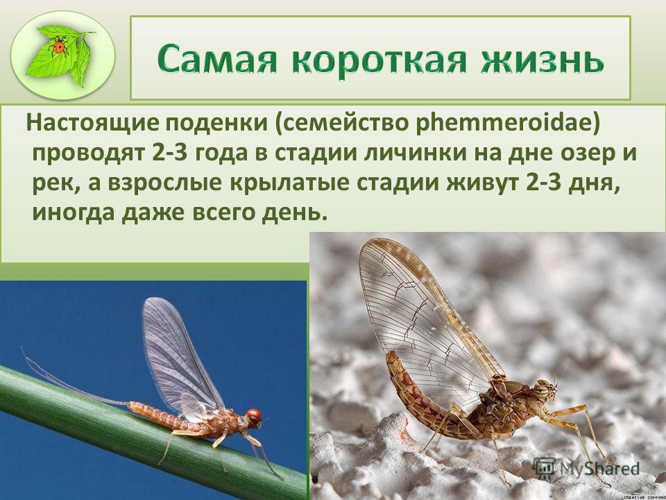 Настоящие поденки (семейство phemmeroidae) проводят 2-3 года в стадии личинки на дне озер и рек, а взрослые крылатые стадии живут 2-3 дня, иногда даже всего день.