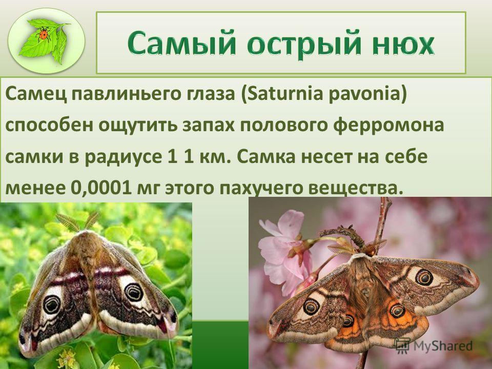 Самец павлиньего глаза (Saturnia pavonia) способен ощутить запах полового ферромона самки в радиусе 1 1 км. Самка несет на себе менее 0,0001 мг этого пахучего вещества.