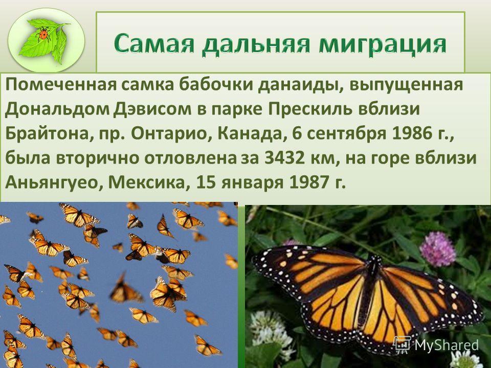 Помеченная самка бабочки данаиды, выпущенная Дональдом Дэвисом в парке Прескиль вблизи Брайтона, пр. Онтарио, Канада, 6 сентября 1986 г., была вторично отловлена за 3432 км, на горе вблизи Аньянгуео, Мексика, 15 января 1987 г.