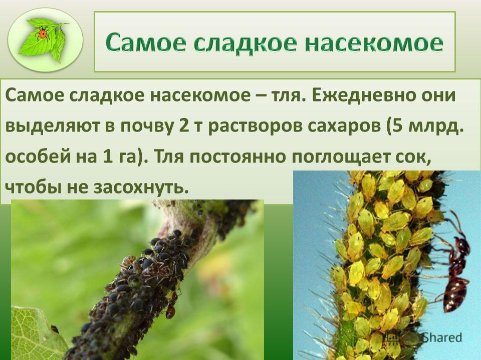 Самое сладкое насекомое – тля. Ежедневно они выделяют в почву 2 т растворов сахаров (5 млрд. особей на 1 га). Тля постоянно поглощает сок, чтобы не засохнуть.