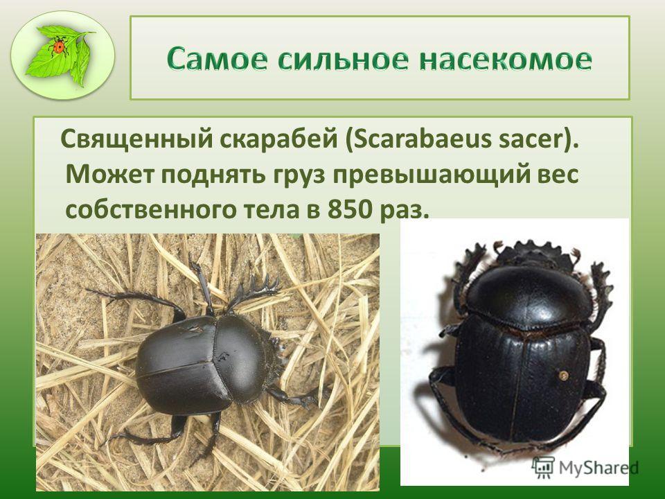 Священный скарабей (Scarabaeus sacer). Может поднять груз превышающий вес собственного тела в 850 раз.