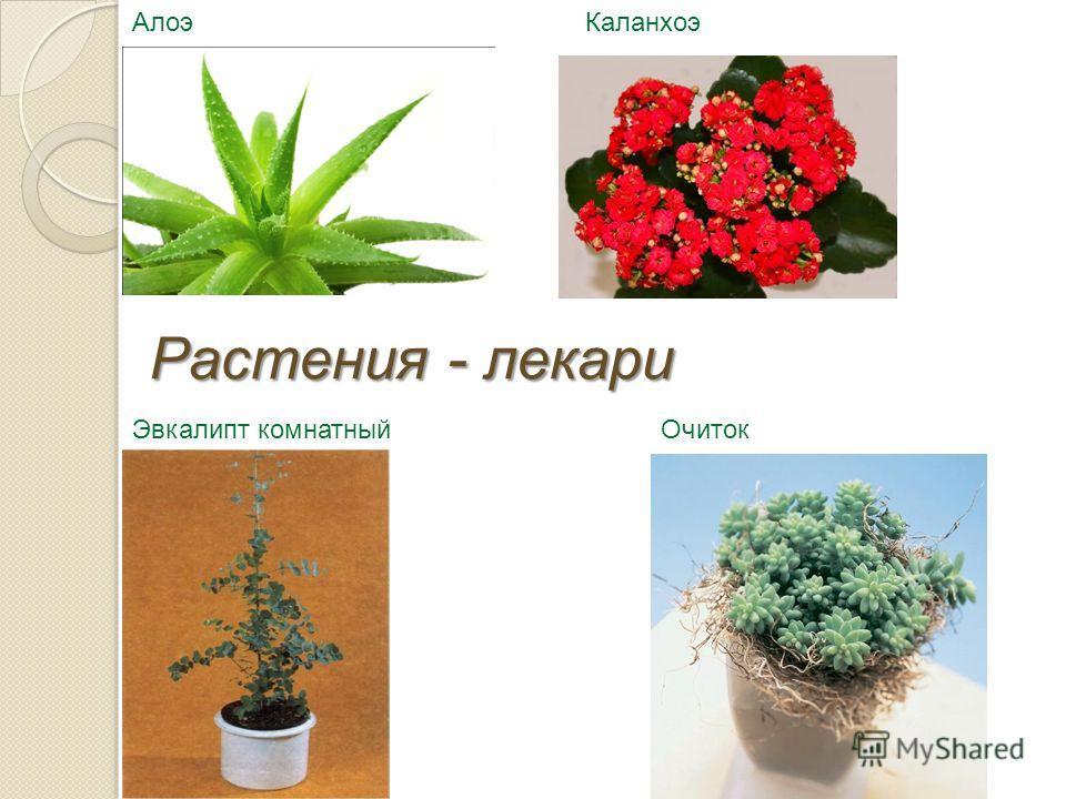 ОчитокЭвкалипт комнатный АлоэКаланхоэ Растения - лекари